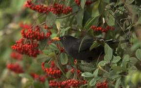 Picture branches, nature, berries, bird, black