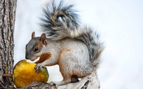 Picture protein, tail, squirrel, rodent