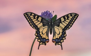 Picture background, butterfly, swallowtail