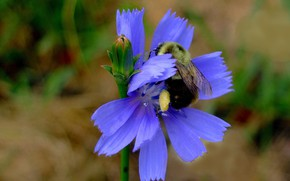 Picture flower, petals, insect, bumblebee