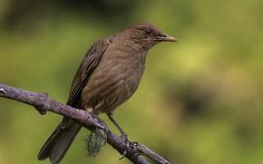 Picture birds, branch, thrush gray