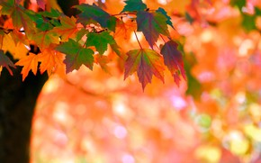Wallpaper maple, tree, bokeh, autumn, leaves
