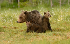 Wallpaper bear, bears, grass, cubs, bears, bokeh