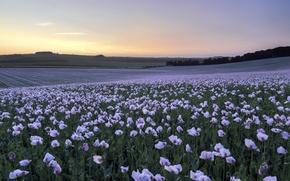 Picture field, sunset, Maki