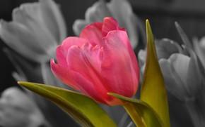 Picture Tulip, petals, spring, leaves