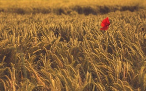 Picture field, flower, Mac, ears, Wheat