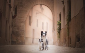 Picture street, bokeh, two dogs, the border collie, sheltie, Shetland Sheepdog