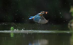 Picture water, flight, squirt, Kingfisher, catch, bird