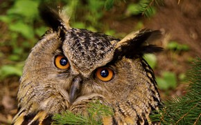 Picture eyes, birds, photo, owl, owl, fauna, Finland