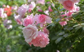 Picture roses, buds, bokeh, rose Bush