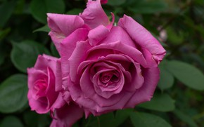 Wallpaper roses, petals, macro, Bud