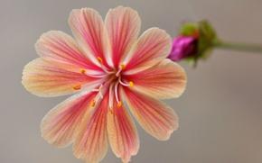 Picture leviziya, flower, petals, nature