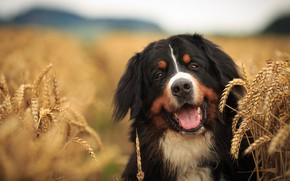 Picture field, look, face, dog, ears, dog, Bernese mountain dog