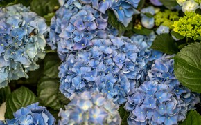 Picture summer, flowers, blue, Bush, flowering, Hydrangea