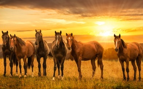 Wallpaper sunset, meadow, horses, horse