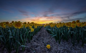 Picture field, sunset, flowers, nature