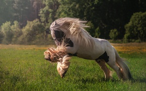Picture horse, meadow, mane, sports