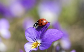 Picture macro, ladybug, insect, violet