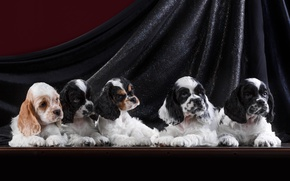 Picture puppies, Spaniel, quintet