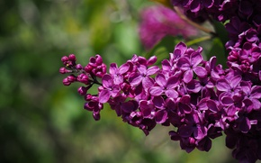 Picture macro, spring, lilac