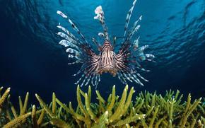 Picture sea, the ocean, fish, lionfish, Zebra fish