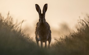 Picture nature, fog, hare