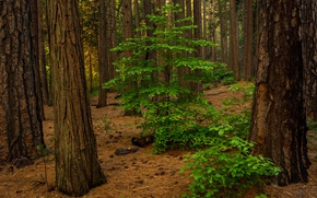 Picture forest, leaves, trees, CA, USA, Yosemite Valley