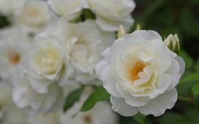 Picture macro, rose, petals, buds, white roses, bokeh