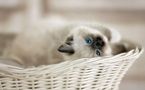 Picture look, basket, baby, kitty, blue eyes, bokeh, Ragdoll