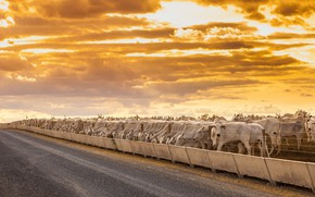 Picture road, the fence, cattle
