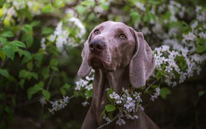 Picture greens, look, face, leaves, flowers, branches, nature, background, foliage, portrait, dog, spring, garden, grey, flowering, …