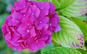 Picture leaves, macro, hydrangea, inflorescence