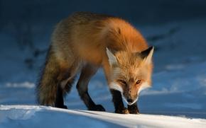 Wallpaper Fox, winter, evil, evil, squint, Fox