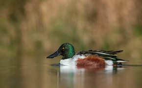 Picture nature, lake, duck