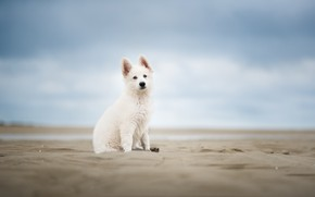 Picture sand, the sky, dog, puppy, bokeh