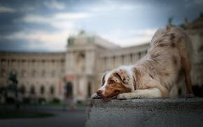 Picture dog, bokeh, Australian shepherd, Aussie