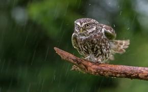 Picture rain, owl, bird, bitches, The little owl