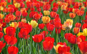 Picture spring, petals, meadow, tulips