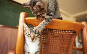 Picture play, eyes, chair, animal, situation, paws, fur, mustache, ears, muzzle, Cats, feline