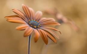 Picture flower, petals, bokeh, inflorescence, Osteospermum, Summer glow