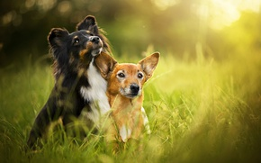 Picture summer, grass, bokeh, two dogs