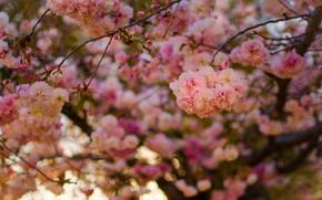Picture branches, cherry, tree, spring, Sakura, flowering, flowers