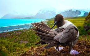 Picture rocks, sea bird, South Georgia, South Georgia and the South sandwich Islands, South Atlantic, Gavan …