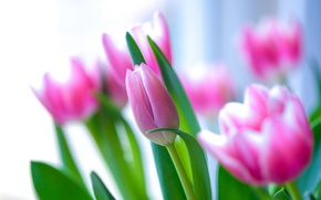 Picture pink, tulips, buds