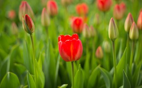 Picture macro, tulips, red, buds, bokeh