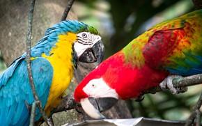 Picture birds, pair, parrots, ary