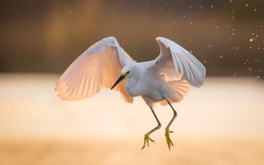 Picture light, wings, white, Heron