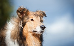 Picture look, face, background, portrait, dog, Rough collie