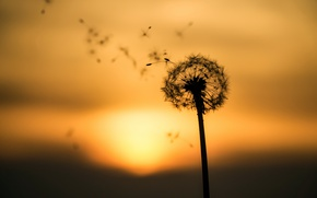 Picture sunset, nature, dandelion