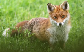 Picture greens, grass, look, glade, Fox, wildlife, Fox